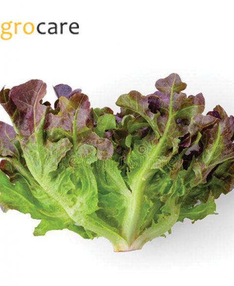RED OAK LETTUCE 200g